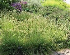 TUFTED HAIR GRASS (CS) * Deschampsia caespitosa * COOL SEASON ORNAMENTAL SEED *