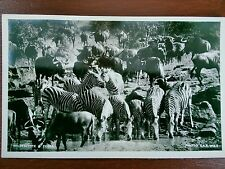 ZEBRA AND WILDEBEEST PHOTO POSTCARD