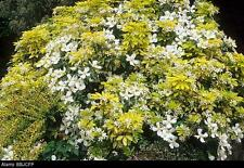 Choisya Sundance Evergreen Fragrant Mexican Orange Blossom Shrub