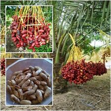 Date Palm 20 Seeds, Phoenix Dactylifera Canariensis Tree Seeds, From Thailand