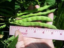 Heirloom Tobacco Worm Green Pole Bean seed for vegetable garden organic 30 seeds