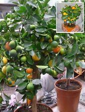 Orangenbaum Calamondin Zimmerpflanze immergrüne Zimmerpalme Büropflanze Obstbaum