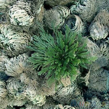 FANCY COOL ROSE OF JERICHO DINOSAUR PLANT AIR FERN SPIKE MOSS RESURRECTION PLANT