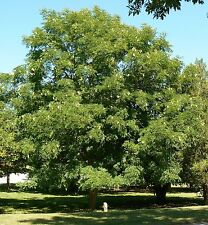 KENTUCKY COFFEE TREE - Gymnocladus dioicus