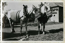 PHOTO ANCIENNE - VINTAGE SNAPSHOT - ANIMAL CHEVAL DE TRAIT NOURRISSAGE - HORSE