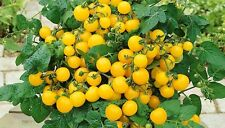 TOMATO - DWARF VARIETY - WINDOW BOX YELLOW - 100 FINEST SEEDS