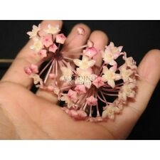 Hoya macrophylla-V cera vegetale impianto di casa di medie dimensioni