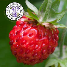 Rare Beach Strawberry  - Chilean / Coast Strawberry  - 10 seeds - UK SELLER