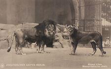 BERLIN ZOO Zoologischer Garten Massai Löwe u. Mesepotamische Löwin 1911