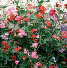 Sweet Pea - Giant Spencer Waved Mixed - 500 Seeds Bulk Packet