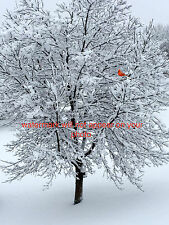 8x10 PHOTO PICTURE WINTER TREE IN SNOW WITH A RED CARDINAL BIRD WALL ART DECOR