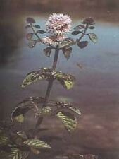 Wildflower Seeds - Water Mint - 500 Seed