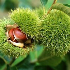 Chinese Chestnut Tree Plant Outdoors Castanea mollissima 4 feet tall Bare Root