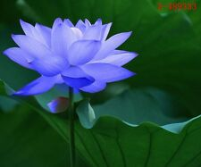 10 Seeds Lotus Bowl Water Lily Nelumbo Nymphaea Sapphire Pond Plants Flower Blue