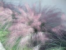 10 Blue muhly Ornamental Grass Seeds,Also Know as,Big muhly, Lindheimer muhly
