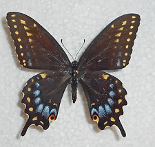 PAPILIO POLYXENES ssp.COLORO form CLARKI female from ARIZONA