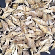 40pcs Beautiful top rare real sea Shell Conch TJH001