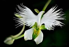 400 Pieces Japanese Radiata White Egret Orchid Seeds