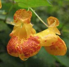 Impatiens capensis Jewel weed 10 seeds