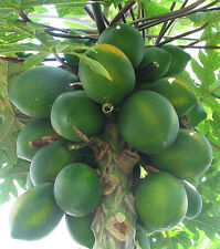 Carica papaya Coorg Honey Dew 15 seeds