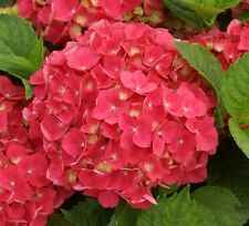 5 x HYDRANGEA RED BARON PLUG PLANTS SHRUBS fjvkt
