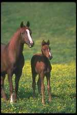 113065 Arabian Horses Mare With Foal In Field Of Yellow Flowers A4 Photo Print