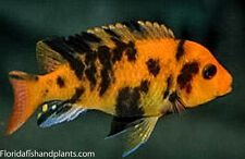Four fish Colony, Orange Blotched Zebra, Mbuna  1.25 Inch  African Cichlid