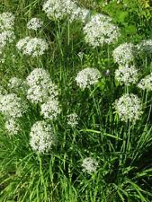 Heirloom Herbs GARLIC CHIVES✯1000 SEEDS✯Culinary✯Medicinal