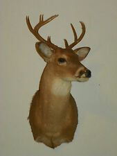 8 point Whitetail Buck Shoulder Mount Taxidermy East Texas Deer