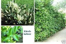 Kirschlorbeer 100 Samen einfache blühende immergrüne robuste Bodendecker Hecken