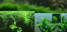 Wassermoose 3 Sorten / Schwimmpflanzen Gartenteichdekoration Japanischer Garten