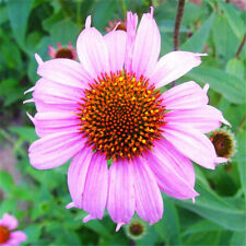 Attractive 200 Purple Coneflower Seeds Medicinal Flower Plants Around the House