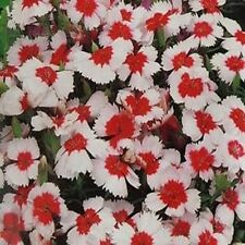 Dianthus- Merry go round- 50 Seeds - 50 % off sale