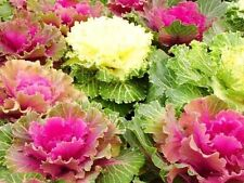 Flower seed - Ornamental Cabbage MIX - Brassica Oleracea