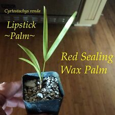 ~LIPSTICK PALM~ Cyrtostachys renda Red Sealing Wax Palm Tree sm Pot Plant 2-4+in