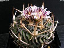 Cactus seeds - Echinofossulocactus Hookeri