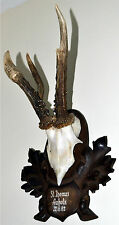Tyrolean Alpine Abnormal Roe Deer Antlers Bavaria Trophy Hunting Rehbock Carved