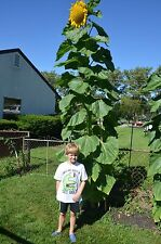 50+ Sunflower Seeds- Russian Mammoth- 2016 Seeds- Helianthus- Organically Grown