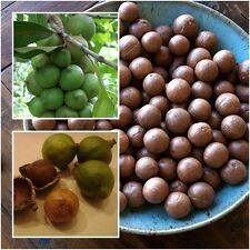 Macadamia 10 Seeds Grow Nuts Heirloom Seeds Rare Tropical Plant Tree From Thai