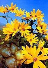 5 Knollen/Pflanzen Topinambur - blühender Sichtschutz - eßbar
