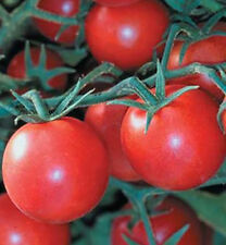 TOMATOES * EARLY GIRL* 15 SEEDS**