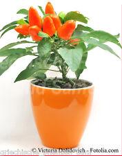 Zimmerchili orange Peperoncino rosso camera arancione Cili 10 Semi Piccanti
