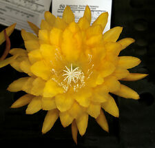 4 graines d' EPIPHYLLUM YELLOW TANG H452 ORCHID CACTUS EPICACTUS SEEDS SEMILLAS