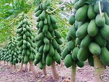 10 Pcs-Home-Garden-Maradol-Papaya-Seeds-Vegetable-Fruit-Plants-Seeds-Outdoor