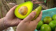 Avocado Persea americana seed thai Rare Fruits seeds Giant choquette