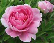 FD698 20 Seeds Chinese Pink Peony Flower Seed Beautiful Hot Flora Garden 20pc!