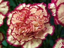 CARNATION - DOUBLE STRIPED - 350 FINEST SEEDS