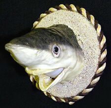 "Real Preserved Stuffed Reef Sand Shark Head Mount ~ On a 3"" Wood Disk Magnet"