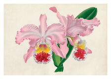 Cattleya Mossiae Hook Var by Jean Linden Orchids A4 Art Print