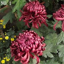 Deep purple Chrysanthemum seed courtyard plant balcony home garden 30 seeds NO.1